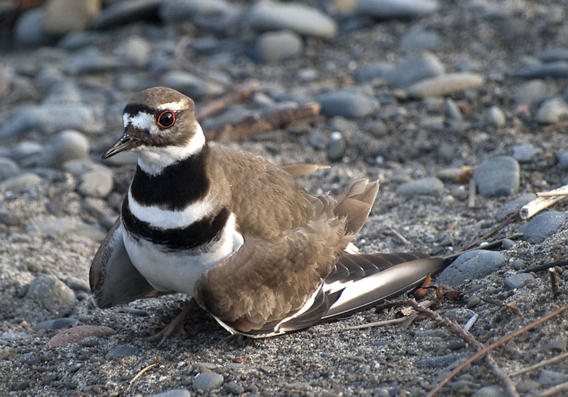 Hypochondriac Killdeer on Garth Hagerman Photo/Graphics