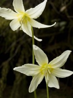Erythronium californicum in rare plants photo gallery
