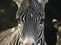 Point Arena Zebra in domesticated animals photo gallery