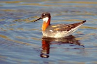Red Necked Phalarope in Ft. Bragg to Rockport photo gallery