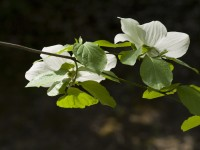 Roadside Dogwood in Montgomery Woods State Preserve photo gallery
