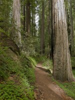 Sorrel Path in Montgomery Woods State Preserve photo gallery