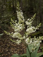 Veratrum in Bloom in rare plants photo gallery