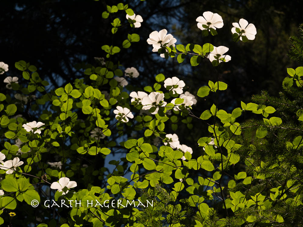 Dogwood Canopy on Garth Hagerman Photo/Graphics