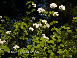 Dogwood Canopy in Inland Northern California photo gallery