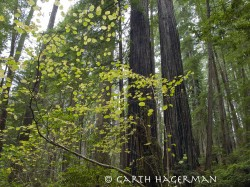 Filbert Curl in Redwood National and State Parks photo gallery