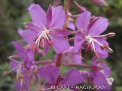 Fireweed in Redwood National and State Parks photo gallery