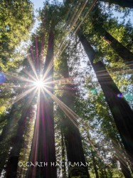Old Growth Starburst in Humboldt Redwoods photo gallery