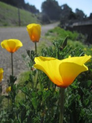 Roadside Poppies in Mendocino photo gallery