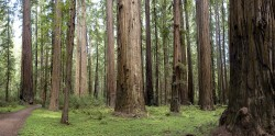 Rockefeller Forest in Humboldt Redwoods photo gallery