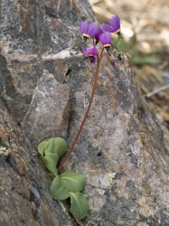 Shooting Star in botanical photo gallery
