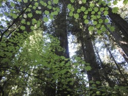 Through the Maples in Humboldt Redwoods photo gallery