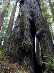 Tree Through Tree in Humboldt Redwoods photo gallery