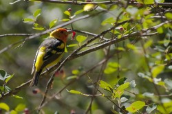 Western Tanager in Inland Northern California photo gallery