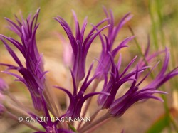 allium falcifolium in Oregon photo gallery