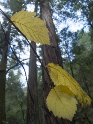 corylus in Montgomery Woods State Preserve photo gallery
